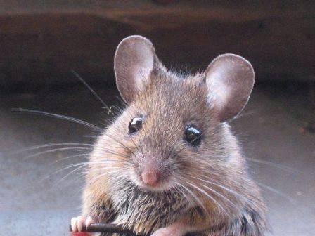Едят ли мыши минеральную вату